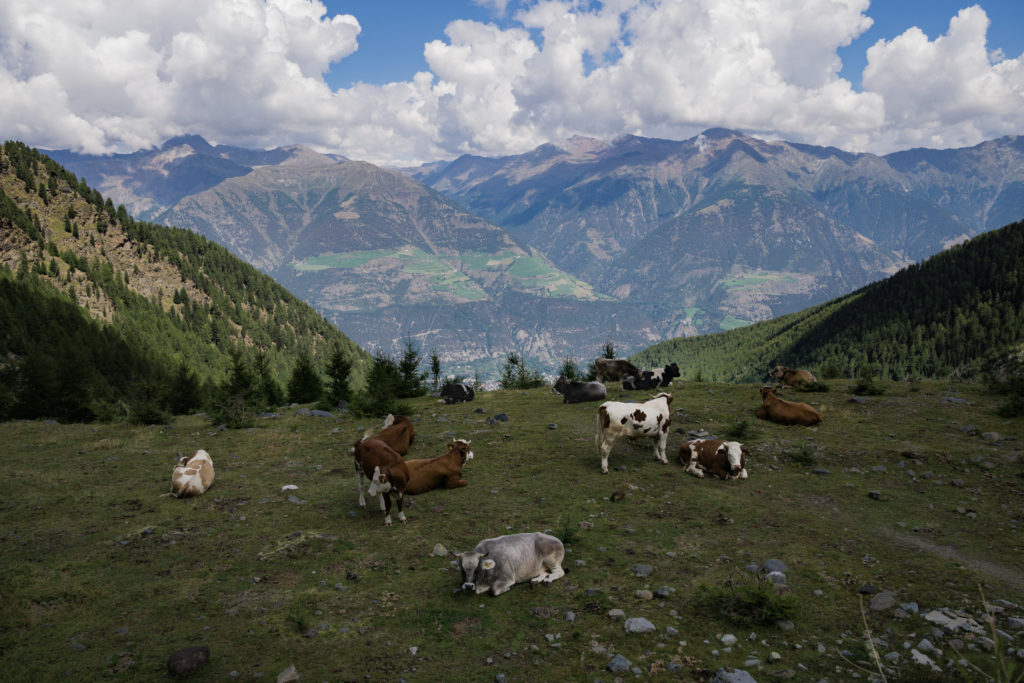 Das Bild zeigt eine grasende Kuhherde vor Alpenpanorama.