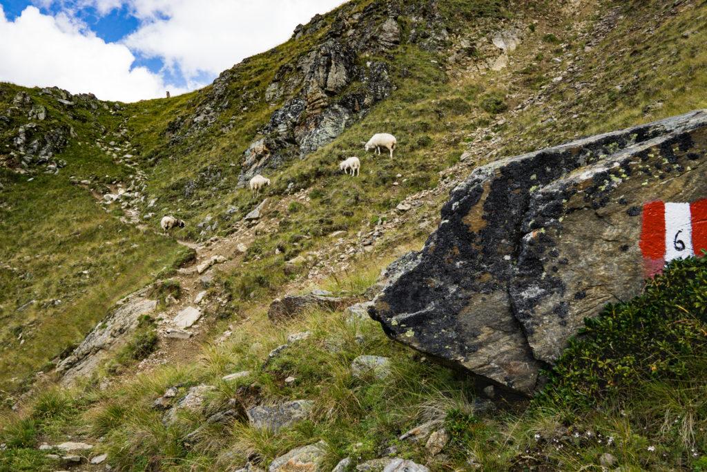 Das Bild zeigt einige Schafe auf dem Weg zum Zerminiger.