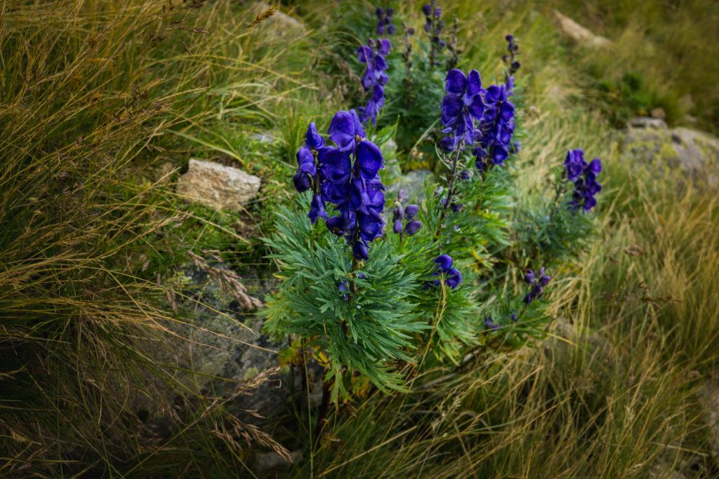 Das Bild zeigt eine blaue große Blume.