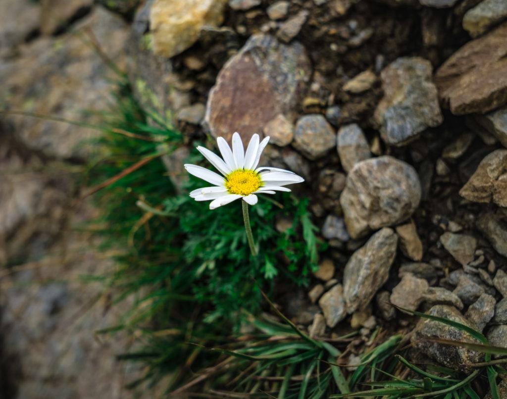 Eine weiße Blume zwischen kargem Fels.
