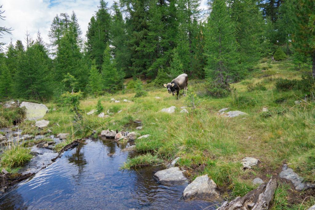 Das Bid zeigt eine Kuh, die vor einem Bach auf einer Almwiese steht und in die Kamera schaut.